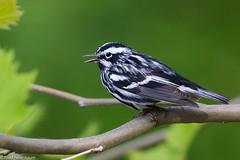 BJ8A3229-Black and White Warbler (tfells) Tags: blackandwhitewarbler bird nature songbird passerine mercer baldpatemountain