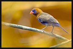 Beauty of The Nature (asifsherazi) Tags: purplegrenadier lakebaringo kenya asifsherazi birdsofafrica