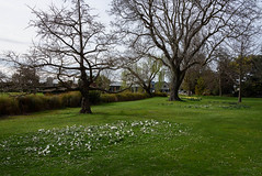 Patches of White (Jocey K) Tags: southisland newzealand nikond750 christchurch monavale flowers daffodils gardens trees river avon avonriver sky grass crocus daisy