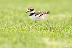 ''Futur marathonien!'' Pluvier kildir-Kildeer chick (pascaleforest) Tags: oiseau bird bébé animal nature passin nikon wild wildllife faune québec canada spring verdure pelouse printemps baby