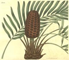 Anglų lietuvių žodynas. Žodis zamiaceae reiškia <li>zamiaceae</li> lietuviškai.