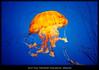 Jelly Fish (tcarlson1196) Tags: chrysaora imagenomic jellyfish newportaquarium nikcolorefex