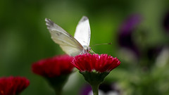 Cabbage Butterfly (Johnnie Shene Photography(Thanks, 2Million+ Views)) Tags: cabbagebutterfly commonbutterfly whitebutterfly butterfly lepidoptera animal insect bug perching resting sitting standing feeding frontview feeler wings limbs korea asia depthoffield bokeh vivid sharpness photography horizontal outdoor colourimage fragility freshness nopeople foregroundfocus adjustment interesting awe wonder fulllength red daisy flower plant floral macro closeup magnified nature natural wild wildlife livingorganism tranquility tranquil peace pierisrapae pieris stockphoto stunning fabulous gorgeous single oneanimal canon eos80d 80d tamron 90mm f28 11 lens 배추흰나비 흰나비 나비 곤충 접사 매크로 동물