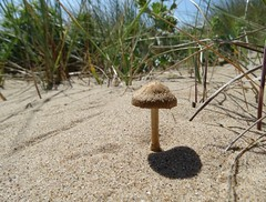 The smallest parasol... (rockwolf) Tags: fungus toadstool mushroom champignon sand coast beach dunes talacre wales rockwolf