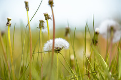 Dandelion finesse (Coisroux) Tags: taraxacum dandelion closeup wildflowers meadows d5500 nikond grasses bokeh deptoffield dof