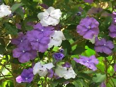 Brunfelsia pauciflora var. calycina (Benth.) J. A. Schmidt (Linda DV) Tags: lindadevolder canonpowershotsx40hs canaryislands canarias tenerife 2017 nature brunfelsia solanaceae ribbet solanales