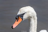 Swan-0015.jpg (vorneo) Tags: familyanatidae binomialnamecygnusolor kingdomanimalia orderanseriformes speciescolor bird wildbird wild muteswan classaves swan phylumchordata genuscygnus