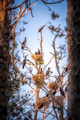 Kormorane auf Rügen III (Bilderschmied-Danz) Tags: baum tree deutschland brüten jungvogel nest breeding kormoran cormorants germany mecklenburgvorpommern fledgeling cormorant bilderschmied ruegen rügen vogelnest wildlifephotography birdsnest wildlife vogel
