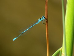 The azure damselfly (Coenagrion puella) male (Linda DV) Tags: lindadevolder plantentuin nationalbotanicgardenofbelgium 2017 nature geotagged canonpowershotsx40hs garden belgium meiseplantentuin meise ribbet