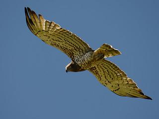 Águia cobreira // Short-toed Eagle