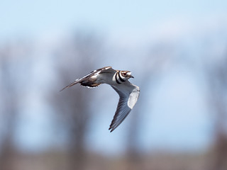Plover, Killdeer
