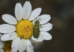 1:1 (listera_ovata) Tags: macro makro bug insect böcek nature naturephotography flower sonya7ii panagor90mmf28macro