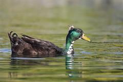 1DX10195 View Large. Crested Cayuga Duck or Domestic Crested Duck. Temecula, California (E.W. Smit Wildlife) Tags: california riversidecounty ef500mmf4lis ef500mmf4lis14x ef500mmf4lisusm ef500mmf4lisusm14x canonef500mmf4lisusm canonef500mmf4lis14x canonef500mmf4lisusm14x gimbalhead wimberley wimberleygimbalheadwh200 wimberleygimbalhead wimberleywh200 gitzo gitzotripod g1325mk2 gitzog1325mk2 gitzog1325mk2tripod aquaticbird wildanimals wildanimal tourist tourists telephotolens tripod unitedstatesofamerica usa outdoor outdoors supertelephotolens bird birds park parks animal avian animals socal canon lake nature wildlife 1dx canon1dx canonef500mmf4lis temeculariversidecalifornia temeculariverside temecula crestedduck duck domesticduck domesticcrestedduck canoneos1dx canonef14xextenderii canonef14x canonef14xextender 14x eos1dx temeculacalifornia