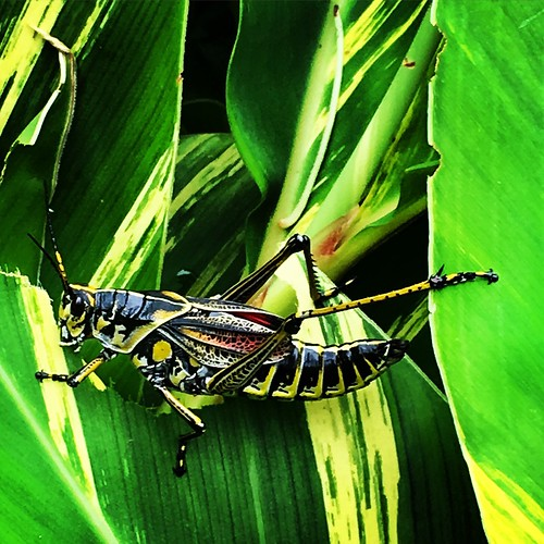 """Gigantic 4-5"""" grasshopper in Natchitoches 😳 • <a style=""""font-size:0.8em;"""" href=""""http://www.flickr.com/photos/57802765@N07/34702383063/"""" target=""""_blank"""">View on Flickr</a>"""
