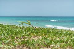 DSC01034 (someNERV) Tags: aguadilla puertorico wilderness wildo beach tropical borinquen caribbean ocean coastline hot sand water turquoise sony alpha a6300 apsc adapted minolta rokkorx 50mm f14 zhongyi lensturboii travel vacation