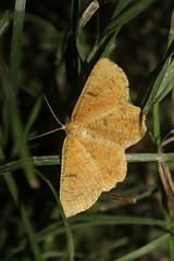 Angerona prunaria (Linnaeus, 1758) - male (Marcell Kárpáti) Tags: angeronaprunaria ennominae geometridae lepidoptera orangemoth sárgakökényaraszoló ócsa hungary