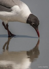 Self admiration…when a mirror just isn't available!    A Laughing Gull at Myrtle Beach, South Carolina. (flintframer) Tags: birds laughing gull south carolina myrtle beach nature wildlife wow dattilo reflection wave water canon ef100400mm 14x eos 7d markii