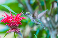 06252017-64-1 (Bill Friggle Photography) Tags: ruby throated hummingbird flower plants feeding hovering flying middlecreek middle creek wildlife management area wma middlecreekwma middlecreekwildlife