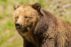 Pretty woman (ChicagoBob46) Tags: grizz grizzly grizzlybear bear yellowstonenationalpark yellowstone nature wildlife coth5 sunrays5 ngc