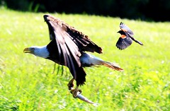 bald eagle & red-winged blackbird at Decorah Fish Hatchery IA 854A5061 (lreis_naturalist) Tags: bald eagle redwinged blackbird rainbow trout decorah fish hatchery winneshiek county iowa larry reis