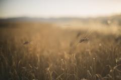 como una solana al oriente (jotaaguilera) Tags: nikon d610 nikkor 50mmf14g desenfoque dof bokeh luz light gold golden dorado atardecer sunset sunshine sueño dream dreamy solitude soledad trigo wheat wheatfield whisper summer susurro verano