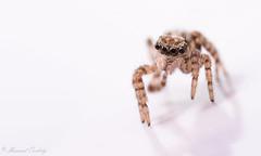 Pseudeuophrys lanigera (Manuel Orobitg) Tags: spider indoor salticidae jumpingspider pseudeuophryslanigera wildlife nature naturaleza arachnids araña arañasaltadora