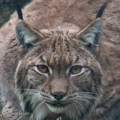 Lynx Look (JKmedia) Tags: looking lynx wildlife bigcat zoo newquay captivity animal nature eyes stare portrait tufted ears naturesfinest n15c flickrbigcats newquayzoo boultonphotography canon
