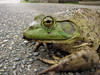 Toad (Shutterbuglette) Tags: macro road eye humanhabitationmeetsnaturalhabitat peoplevswildlife cityencroachingonwildspaces environment environmentalimpact toad misguidedtoad watchfortoadsontheroad