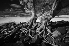 Les saules de Cap-Saint-Ignace (Patrice StG) Tags: nex3 ir infrarouge infrared gimp darktable nikkor1855g tree arbre ir760nm bw noiretblanc nb blackandwhite rock stone pierre