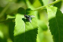 D3X_0384_fl (dmitrytsaritsyn) Tags: fly outdoor nikon insect d3x 105mm r1c1 flies