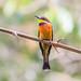 Cinnamon-chested Bee-eater (Merops oreobates)