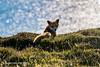 Red Fox (SLHPhotography1990) Tags: 2017 may sophs sunset red fox wild sea water coast spiritofphotography nature british animal wildlife coastal isleofwight