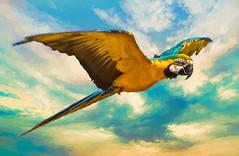 Blue and Gold Macaw in flight (FotoGrazio) Tags: amazon blueandgoldmacaw macaque macaw waynegrazio waynesgrazio animal art beautiful bird feathers fineart fly flying fotograzio glide gliding largeparrot nature painterly parrot phototoart phototopainting texture wildlife wings wingspan bravo