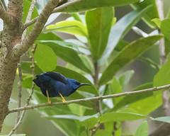Shining Honeycreeper (male) (J.B. Churchill) Tags: birds costarica heredia laselvaotsreserve places shho shininghoneycreeper tanagershoneycreepers taxonomy cr laselva