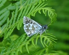Pyrgus serratulae (Olive Skipper, male) (TPittaway) Tags: pyrgusserratulae oliveskipper greece june2017 tonypittaway lepidoptera skippers hesperiidae delphi thessaly butterflies