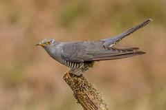 JWL8287  Cuckoo (jefflack Wildlife&Nature) Tags: cuckoo cuckoos birds avian animal summermigrant songbirds wildlife wildbirds woodlands heathland hedgerows moorland meadows moors countryside nature