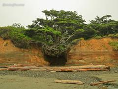 Tree of Life (Shutterbug Fotos) Tags: olympicpenninsula treeoflife washingtonstate pacificocean tree alive ocean sensational