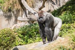2017-06-05-12h27m31.BL7R7094 (A.J. Haverkamp) Tags: bokito canonef100400mmf4556lisiiusmlens rotterdam zuidholland netherlands zoo dierentuin blijdorp diergaardeblijdorp httpwwwdiergaardeblijdorpnl gorilla westelijkelaaglandgorilla dob14031996 pobberlingermany nl