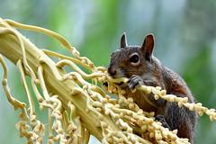 Trouble maker DSC_1271 (blthornburgh) Tags: thornburgh tampa florida nature backyard flora flower bloom squirrel graysquirrel palmbloom