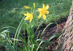** Les deux hémérocalles ** (Impatience_1) Tags: hémérocalle daylily fleur flower m impatience wonderfulworldofflowers saveearth supershot coth abigfave sunrays5 coth5 alittlebeauty