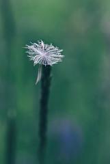 Wenn man sowieso schon von der Vorgewitterluft schwitzt, kann man auch ausgiebig in der Wiese mittanzen. (Manuela Salzinger) Tags: frühling spring wiese meadow abend evening blume flower