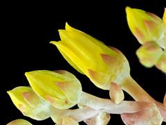 2017-06-17-14.05.23 ZS PMax Dudleya caespitosa-1 (John Rusk) Tags: flowers buds olympuspenepl7body canonfd100mmmacrolens iso100 fstopf4 shutterspeed160s zerenestacker stackof11images taxonomy:kingdom=plantae plantae taxonomy:clade=tracheophyta tracheophyta taxonomy:phylum=magnoliophyta magnoliophyta taxonomy:class=magnoliopsida magnoliopsida taxonomy:order=saxifragales saxifragales taxonomy:family=crassulaceae crassulaceae taxonomy:genus=dudleya dudleya taxonomy:species=caespitosa taxonomy:binomial=dudleyacaespitosa coastdudleya sandlettuce sealettuce dudleyacaespitosa taxonomy:common=coastdudleya taxonomy:common=sandlettuce taxonomy:common=sealettuce ebparksok