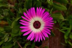One perfect... (in Explore) (Zsofia Nagy) Tags: ourdailychallenge perfect flower plant pink green fleur virág rózsaszín garden summer closeup flickrlounge saturdaytheme