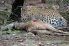 Lip-smackin' Good (kishorebhargava) Tags: india indianleopard ranthambhore ranthambhoretigerreserve