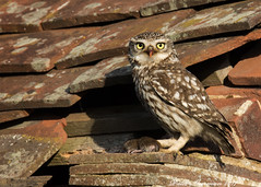 Worth the wait. (muppet1970) Tags: littleowl owl prey roof tile hunting food wildlife springwatch nature