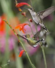 hummingbirds in garden 7-1-17_002 (pmsswim) Tags: hummingbird rubythroathummingbird colibri inthegarden inthehumbirdjungle summer july 2017