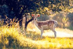 Hello (László_F) Tags: deer animal waterleidingduinen summer grass light nature outdoors park wildlife rimlight backlight vogelenzang