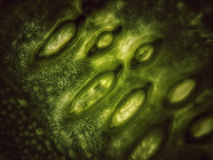 """Cryogenesis'          (see description) (Milesofgadgets ) Tags: macromondays iphoneography macro iphone olloclip creative abstract art 6s plus iphone6splus olloclipmacro courgette olloclipmacro21x textures"