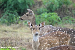 Twin-sides. (mohulbhowmick) Tags: canon 250mm 1300d bandipur indiatraveldiaries indiapictures india indiaclicks instagram igers potd deer sanctuary reserveforest appreciation wildlife floraandfauna mindset