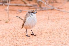 Eyrean Grasswren (chrissteeles) Tags: eyreangrasswren grasswren bird birding strzeleckitrack outback southaustralia sa